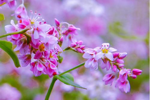 Mùa hoa tam giác mạch nở rộ trên vùng cao nguyên đá