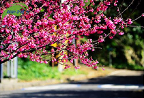 Du lịch Đài Loan thưởng thức mùa hoa rực rỡ tại công viên Dương Minh Sơn